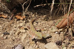 Colourful Tuatara (Cha'trez) Tags: wellington tuatara zealandia