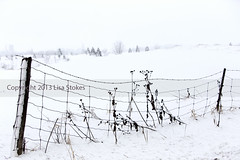 White Out (Lisa-S) Tags: winter snow ontario canada rural fence weeds lisas snowstorm golfcourse snowing fenceposts pending caledon 3751 caledongolfandcountryclub gettyimagescanada copyright2013lisastokes