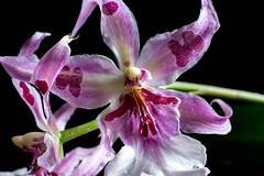Odontoglossum (AnnMelanie) Tags: white colour orchids magenta odontoglossum