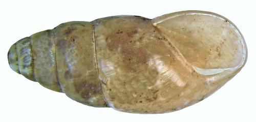 Cochlicopa lubrica (Mueller, 1774)