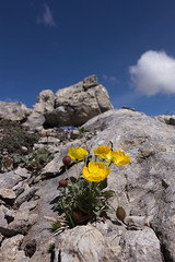 Papaver aurantiacum (biologo) Tags: plants alps alpes switzerland alpen plantae alpi livigno papaver papaveraceae pontresina graubnden magnoliophyta ranunculales eudicots centraleasternalps spermatophyta rosopsida easternalps papaveroideae livignoalpen papaveraurantiacum livignoalps
