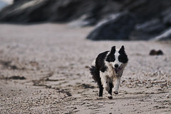 Border Collie Fever! (livadoni) Tags: dog seaweed male beach twilight sand play bokeh breath running shore bordercollie tong stix galloping smartdog smartestdogever