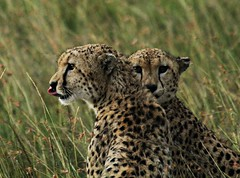 Cheetah. Masai Mara. Keya (Egyptian Lady) Tags: game kenya wildlife hunting mara cheetah bushes viewing masai predetors