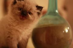 Cat9661 (40) (Cat9661) Tags: animals cat حيوانات مون قطط هاف بسة فيس شيرازي بيكي بساس هملايا