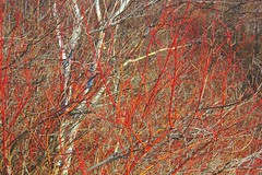 Bluffs calligraphic 1  (Red) (TWO7rabbit) Tags: trees landscape scarborough calligraphic wintercolour greatertorontoarea scarboroughbluffspark photobybrianswyatt