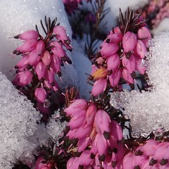 Breaking through Snow. Erica sp., Heather, Groningen, The Netherlands (Rana Pipiens) Tags: heather aristotle groningenthenetherlands supershot fantasticflower theophrastus ericasp flickraward mygearandme blinkagain