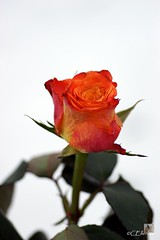 Rose (4) (Ellenore56) Tags: light orange inspiration color colour detail macro reflection love floral rose licht amber photo flora focus foto treasure emotion affection blossom magic explorer perspective explore souvenir honey memory bloom vista imagination outlook moment remembrance reminder makro blte magical effect farbe reflexion liebe flowerpower perspektive challenging fascinating reflektion effekt no5 erinnerung dud augenblick memoriam fokus florescence floribunda affinity retrospection faszination explored bltenzauber orangecoloured faszinierend edelrose orangecolored orangefarben sonya350 ellenore56 rememberthatmomentlevel1 14032013