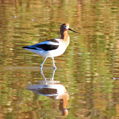 American Avocet, 03/14/13 (VinCar927) Tags: arizona birds riparianranchatwaterpreserve