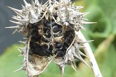 seedbox of Devil's Trumpet (René Mouton) Tags: plant secondchance datura moonflower thornapple jimsonweed locoweed devilsweed stinkweed zaaddoos devilstrumpet doornappel daturastramonium jamestownweed zaden tolguacha flickrchallengegroup