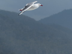Silver Gull (Rodger1943) Tags: lumix birdsinflight seabirds australianbirds silvergull panasonicfzseries faunainmotion fz200