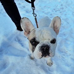 Hey you... (stefanh.varberg) Tags: winter dog snow dogs french nikon sweden bulldog coolpix frenchbulldog varberg p310