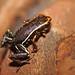 Monte Iberia Dwarf Frog (Eleutherodactylus Iberia)