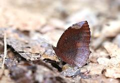 The Common Palmfly - หนอนมะพร้าวธรรมดา