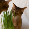 Considering Maia (peter_hasselbom) Tags: cats grass cat 50mm daylight naturallight usual abyssinian ruddy twocats eatinggrass 2cats