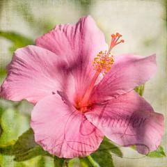 2013: 365/080 - to Jennifer, with love (Lois_WA) Tags: flowers square nikon florida hibiscus waltwhitman odc ocaptain 365project d7000 texturesquared dps365 florabellatexture kimklassentextures archivedchallenge