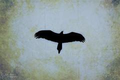 The Crow That Flies (Shooting Ben) Tags: bird texture silhouette photoshop flying wings flight australia magpie australianbirds australiananimals birdinflight australianmagpie spreadwings crowfamily texturedimage