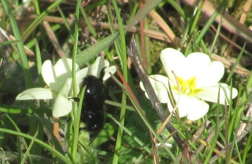 Violet carpenter bee on primrose