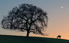 Page Mill Road #33 (andertho) Tags: california horse moon tree silhouette delete5 delete2 dusk delete6 delete7 hill save3 delete3 delete delete4 save save4 paloalto save5 save6 graze sfist d800 pagemillroad deletedbythedeletemeuncensoredgroup