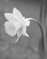 ... (Astridafoto) Tags: park flowers england blackandwhite bw white flower macro nature closeup canon photography grey spring softness delicate daffodils