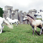 "Castle Connemara Ponies <a style=""margin-left:10px; font-size:0.8em;"" href=""http://www.flickr.com/photos/89335711@N00/8595095323/"" target=""_blank"">@flickr</a>"