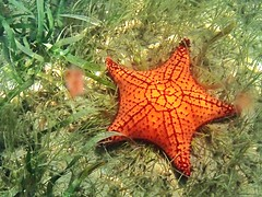 Orange Star (Miasis Dragon) Tags: belize hopkins gloversreef jaguarreeflodge tg820 olympustg820gloversreef