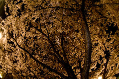 (tokoro) Tags: japan night cherry nikon blossoms sigma fisheye sakura d300 10mm 2013