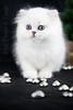 Les Persans de Fannie (Les Persans De Fannie) Tags: christmas cats pets cat persian chats kitten chat noel chinchilla animaux fannie chaton chatons persan