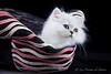 Les Persans de Fannie (Les Persans De Fannie) Tags: cats pets cat persian chats kitten chat chinchilla chapeau animaux fannie chaton chatons persan