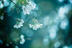 Flowering Time (moaan) Tags: life spring dof blossom bokeh dream dreaming multipleexposure kobe utata cherryblossom sakura blossoming sprung 2013 inlife ef70200mmf28lisiiusm canoneos5dmarliii