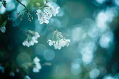 Flowering Time (moaan) Tags: life spring dof blossom bokeh dream dreaming multipleexposure kobe utata cherryblossom sakura blossoming sprung 2013 inlife ef70200mmf28lisiiusm canoneos5dmarliii