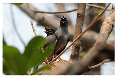 Jungle Myna/   (Shoummo ()) Tags: birds   junglemyna shalik  bangladeshibirds saeedshoummo  shoummo shaalik       birdsofbangldesh wwwshoummocom