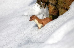 Weasel in the snow (nondesigner59) Tags: snow nature wildlife hunting weasel hunter predator eos50d naturewatcher nondesigner nd59 naturesgreenpeace mothernaturesgreenearth copyrightmmee
