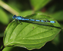 Blue on green (Explore 7/4/2013 #36) (ORIONSM) Tags: blue sun green leaf damselfly basking pentaxk5
