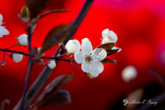 Hot Blossoms (HK Passey) Tags: seattle red usa white spring cherryblossoms floweringtrees floralfantasy bokehlicious awesomeblossoms persephonesgarden