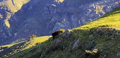 Mountain Grazing (Abel AP) Tags: california usa mountains animal landscape cow rocks cattle outdoor fremont mountainside missionpeak fremontca eastbayregionalparkdistrict missionpeakregionalpreserve ebparksok abelalcantarphotography