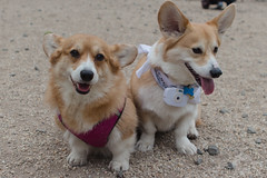 New York Corgi April Meetup (iM4i2Ci) Tags: park nyc dog pet pets newyork dogs pembroke corgi meetup centralpark pembrokewelshcorgi welsh welshcorgi dogrun corgis corgimeetup corgibutt bullmoosedogrun newyorkcorgimeetup