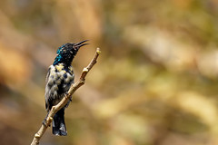 850E5816 - The song of purple sunbird (crimsonbelt) Tags: park nature birds dubai purple bokeh wildlife sunbird safa