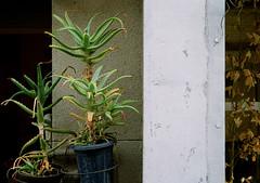 health-conscious (SOVA5) Tags: plant film canon aloe half canondemiee17 plantpot kodakgold200