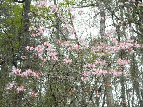 """The native azaleas were in full bloom along the river bank on the day of the race. • <a style=""""font-size:0.8em;"""" href=""""http://www.flickr.com/photos/85839940@N03/8637833484/"""" target=""""_blank"""">View on Flickr</a>"""