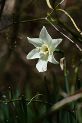 Roadside White Narcissus (BeautifulRust) Tags: wild white flower spring daffodil roadside narcissus polarice naturalized