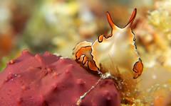 Maiazoon orsaki, scuba diving in Romblon Island, Philippines (The Three P H.& Dive Resort (Ducks Diving) Romblon) Tags: macro photography underwater philippines scuba diving makro philippinen macrophotography tauchen underwaterphotography romblon underwatermacrophotography