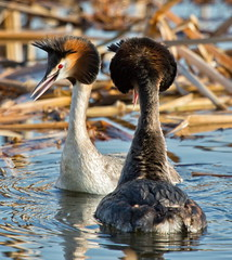 Great crested grebe displaying (JOHN CRAWFORD2011) Tags: urban glasgow great local crested allofnatureswildlifelevel1 grebesscotland