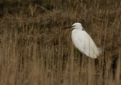 Photo of Little Egret