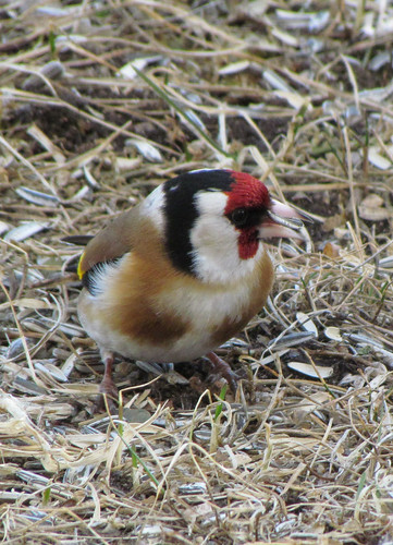 Stillits  (Carduelis carduelis)  /  English: European Goldfinch