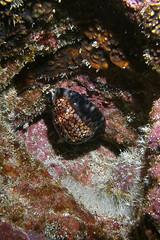 Bat-Shell! (BarryFackler) Tags: life nature hawaii polynesia bay shell scuba diving sealife pacificocean tropical seashell marinebiology bigisland aquatic reef creature kona gastropod mollusc mollusk invertebrate zoology honaunau cowry southkona 2013 marineinvertebrate leho univalve cypraeidae cowryshell cypraeamaculifera barryfackler cmaculifera lehokolea reticulatedcowry