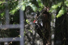Male Pileated Woodpecker Two (artlessfun) Tags: bird washington kalama artlessfun canoneosrebelt3i cowlitzcountywa img14719