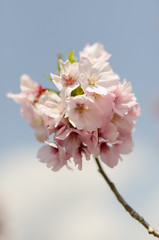 Sakura (Skyworks) Tags: flower japan cherry 50mm nikon blossom bokeh sakura   d7000