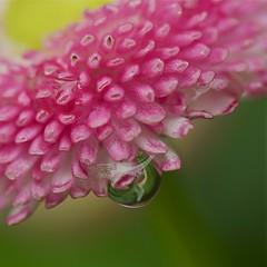 ☂ 我的雨天  ☂ My Rainy Day ☂ (Anna Kwa) Tags: macro art nature marina drops singapore daisy bellisperennis flowerdome gardenbythebay