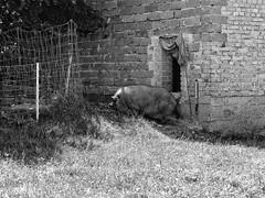 Pig Bungalow (nafoto!) Tags: pig schwein hngebauchschwein ansfelden austria sterreich monochrome leicadlux4