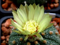Astrophytum asterias flower (Skolnik Collection) Tags: astrophytum flower cactus skolnik collection asterias